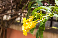 Flor de trombeta dourada do Allamanda Imagens de Stock Royalty Free