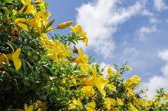 Flor de trombeta dourada ou cathartica do Allamanda Imagens de Stock