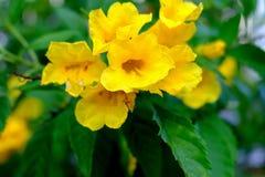 Flor de trombeta, pessoa idosa amarela fotografia de stock royalty free