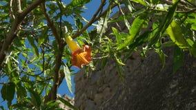 Flor de trompeta amarilla y anaranjada del ángel en el picchu del machu almacen de video