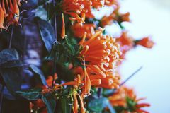 Flor de trompeta anaranjada Fotos de archivo