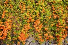 Flor de trompeta anaranjada de Pyrostegia Venusta imagenes de archivo