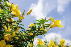 Flor de trompeta de oro o cathartica del Allamanda Imágenes de archivo libres de regalías