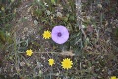 Flor de trompeta púrpura foto de archivo