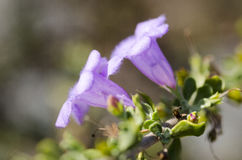 Flor de trompeta púrpura con los pétalos peludos Fotos de archivo