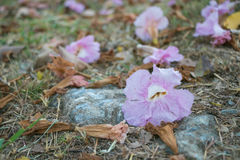 Flor de trompeta rosada en la tierra Fotografía de archivo