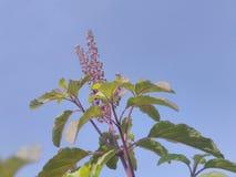 Flor de Tulsi Foto de Stock