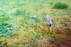 Flor de um açafrão no prado verde Foto de Stock Royalty Free