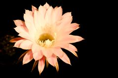 Flor de um cacto Foto de Stock Royalty Free