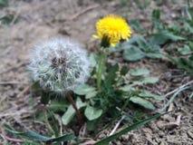 Flor de um desejo! Fotografia de Stock