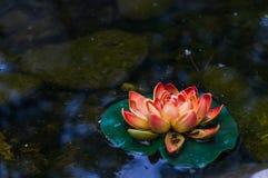 Flor de um lírio de água em um pântano imagens de stock