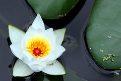 Flor de um lírio em uma lagoa foto de stock
