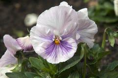 Flor de um pálido - rosa/planta malva do amor perfeito foto de stock royalty free