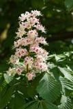 Flor de uma árvore de castanha do cavalo Imagem de Stock Royalty Free