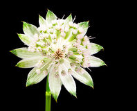 Flor de uma flor do masterwort Foto de Stock