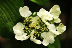 Flor de uma hortênsia de escalada Imagens de Stock Royalty Free