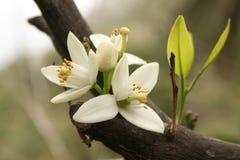 Flor de un árbol anaranjado Fotografía de archivo libre de regalías