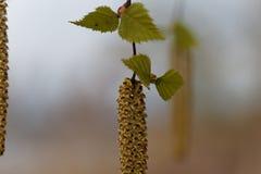Flor de un árbol de abedul de plata Fotos de archivo libres de regalías
