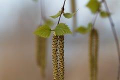 Flor de un árbol de abedul de plata Imágenes de archivo libres de regalías