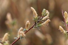 Flor de un arbuscula del Salix del sauce de la montaña Foto de archivo libre de regalías