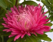 Flor de un aster Imágenes de archivo libres de regalías
