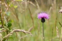 Flor de un cardo Imagen de archivo libre de regalías
