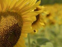 Flor de un cierre del girasol y de la abeja para arriba foto de archivo