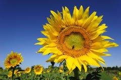 Flor de un girasol Imagenes de archivo