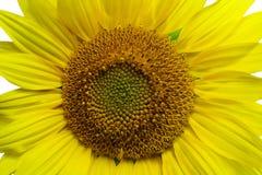 Flor de un girasol Fotos de archivo libres de regalías