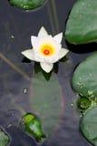 Flor de un lirio Fotografía de archivo libre de regalías