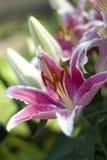 Flor de un lirio Fotos de archivo