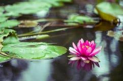 Flor de un lirio de agua en una charca Foto de archivo