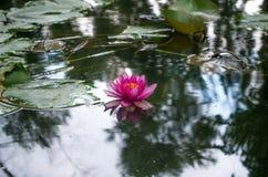 Flor de un lirio de agua en una charca Imagen de archivo libre de regalías