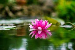 Flor de un lirio de agua en una charca Imagenes de archivo