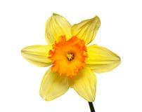Flor de un narciso Fotografía de archivo libre de regalías