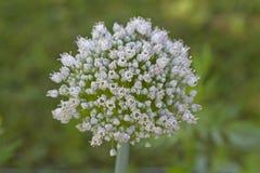 Flor de un puerro fotografía de archivo libre de regalías