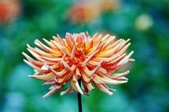 Flor de una dalia en jardín imagen de archivo libre de regalías