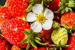 Flor de una fresa en un fondo de fresas frescas rojas Foto de archivo