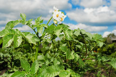 Flor de una patata Imagenes de archivo