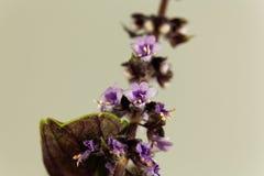 Flor de una planta azul de la albahaca imagenes de archivo