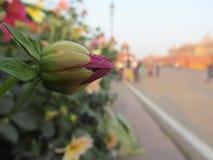 Flor de Unbloomed Fotos de archivo libres de regalías