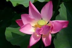 Flor de uns lótus Foto de Stock Royalty Free