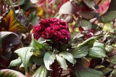 Flor de veludo fotos de stock