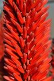 Flor de Vera del áloe Fotografía de archivo