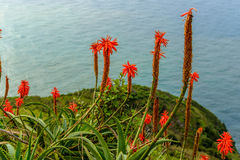 Flor de Vera del áloe que florece cerca del océano en la isla de Madeira Imagen de archivo