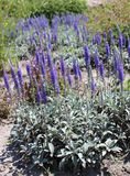 Flor de Veronica Spicata (verônica do ponto) no jardim do verão Imagem de Stock Royalty Free