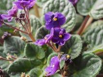 Flor de Violet Saintpaulia Fotos de Stock Royalty Free