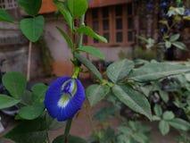 Flor de Voiet GOKARN Imagenes de archivo