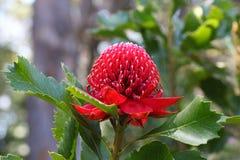 Flor de Waratah Imágenes de archivo libres de regalías