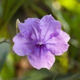 Flor de Waterkanon fotografia de stock